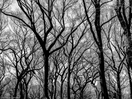 BLACK TREES CENTRAL PARK NYC