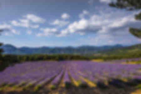 Lavender Fields 05