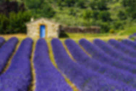 Lavender fields and shed