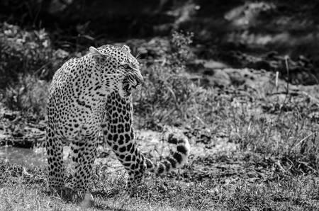Leopard in the Masai Mara