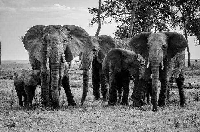Photo Noir Et Blanc éléphant Achat Vente Photos Dart