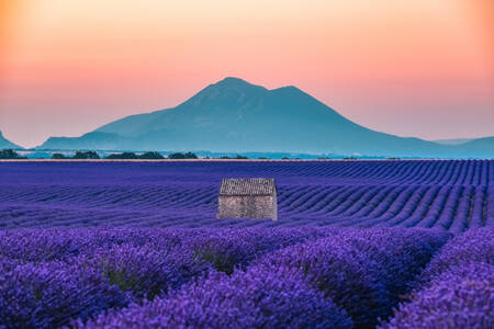 Lavender and mountain