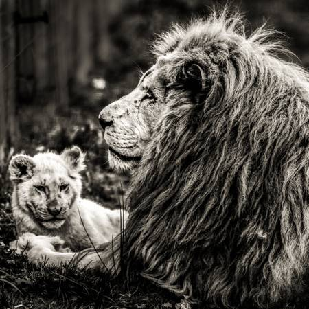 Lion and his baby