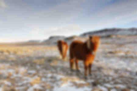 Icy horses