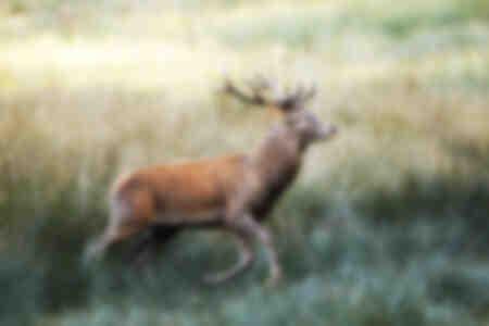 Il cervo