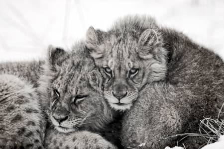 Cubs in the cold