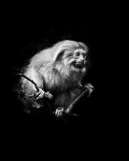 Tamarin lion doré