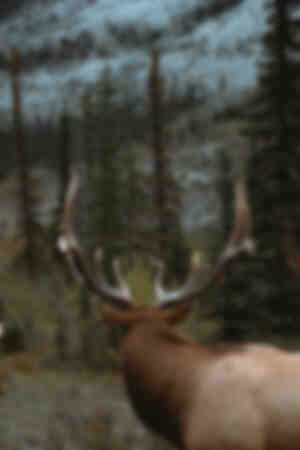 Rocky Mountain Deer