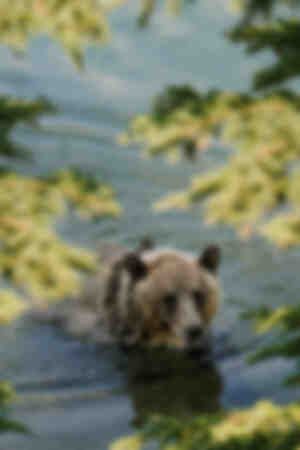 Grizzly swimer