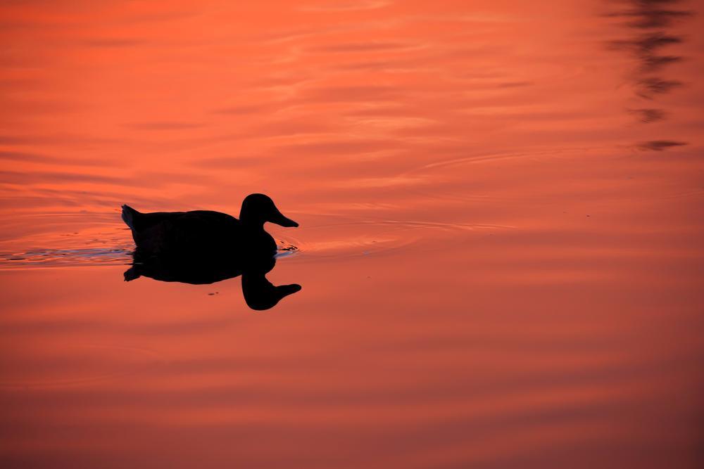Sunset Wild Duck