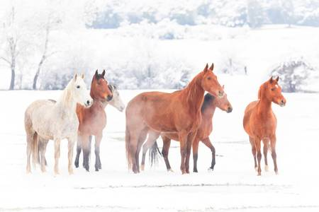 Horses under the snow