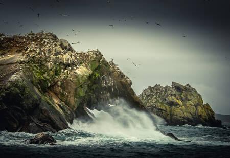 Fous de Bassan sur l'archipel de 7 Îles