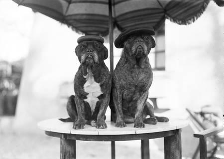 Hunde mit Baskenmützen zwischen 1930 und 1950