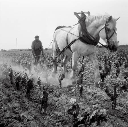 Plowing between the rows of vineyards in Gironde A