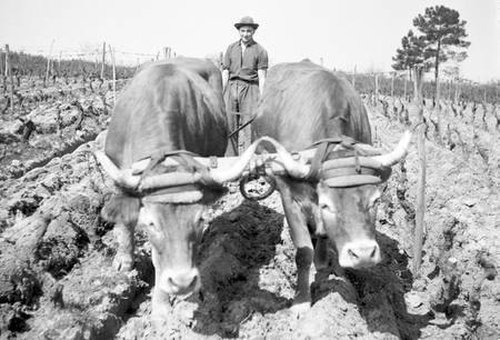 Plowing between the rows of vineyards in Gironde
