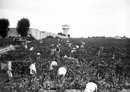 Vendanges dans le domaine Haut Brion en 1955