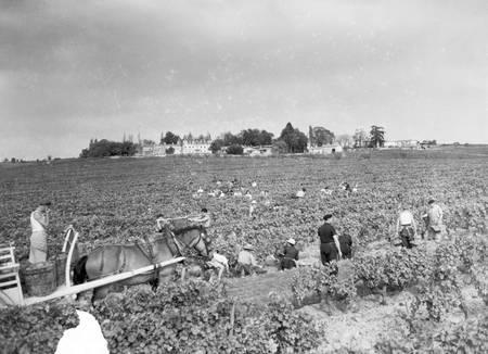Vendanges dans le Médoc en 1949