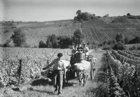 Vendanges dans les années 1930 1950 en Gironde