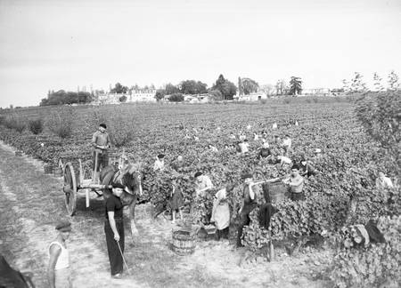 Vendanges en Gironde en 1949 A