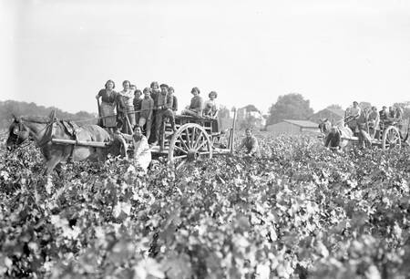 Vendanges Médoc en 1952