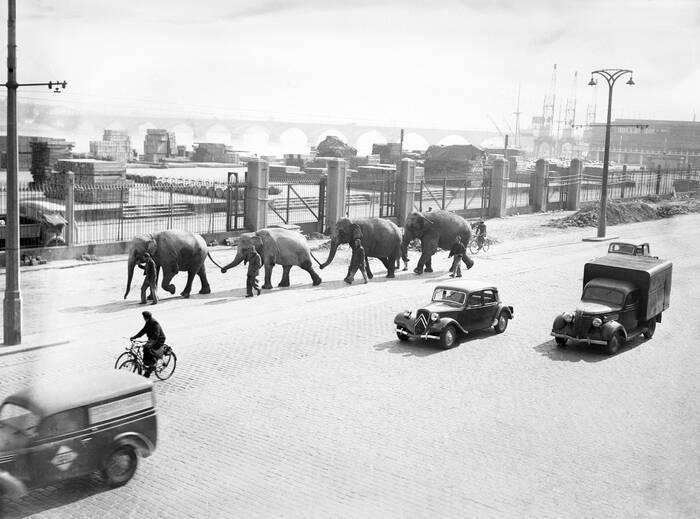 Elephants Sur Les Quais De Bordeaux En 1950
