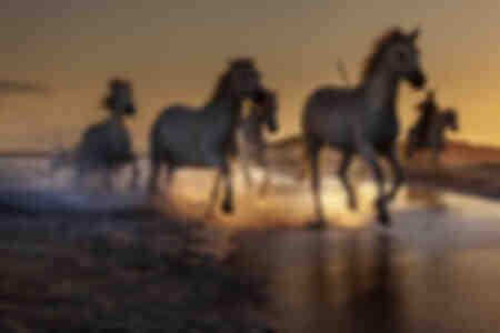 Camargue-hästar 5