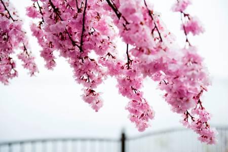 Cerisier en fleurs glacées