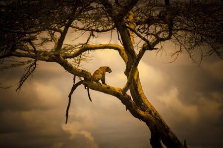 Himmlischer Leopard
