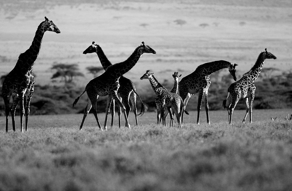 Tanzanie Girafe