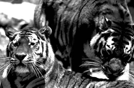 Tigre du Bengale Inde