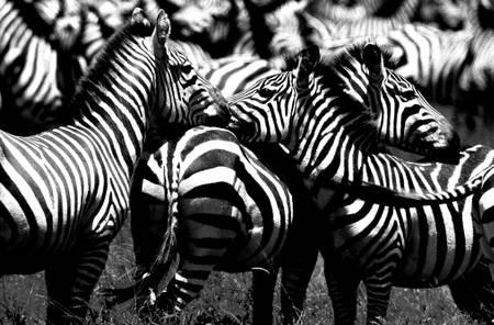 Herd of Zebra Tanzania