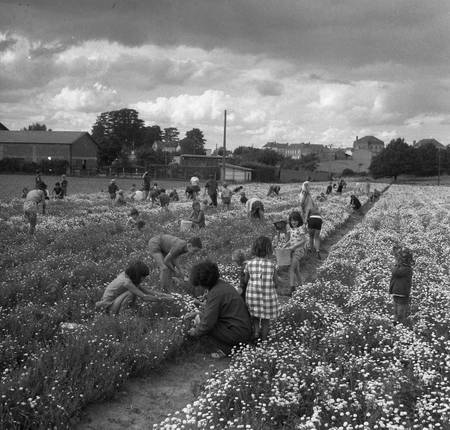 Harvest of chamomile in 1970