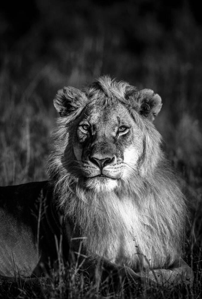 Photo d 39 art le roi lion artiste franck fouquet - Voir le roi lion ...