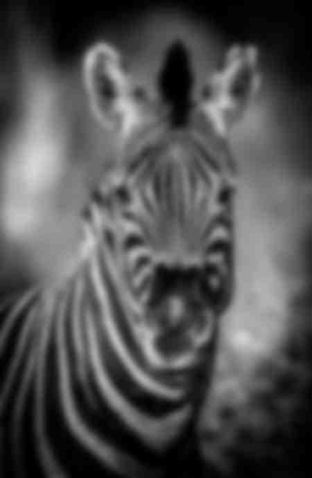 Grappige zebra
