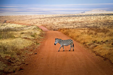 The crossing of the zebra