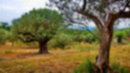 Les oliviers Provence Côte d'Azur