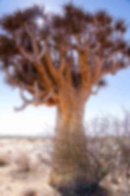 Kokerboom