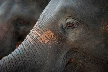 L'éléphant asiatique