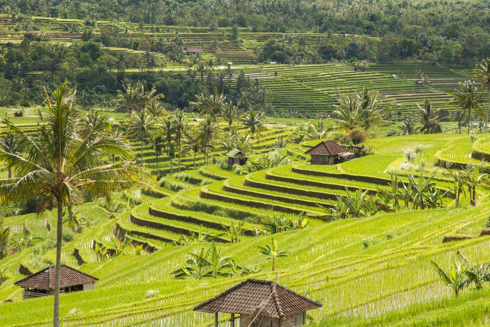 The rice terraces of Jatiluwih - Photograph by Alexandre Brochard