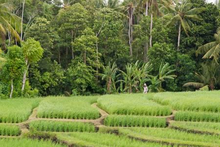 Art of the rice fields