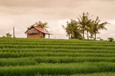 Hut near the rice fields