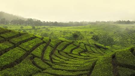 Tea plantations on the island of Java
