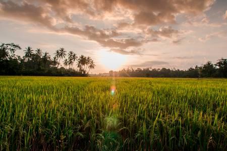 Rice paddy in Sri Lanka