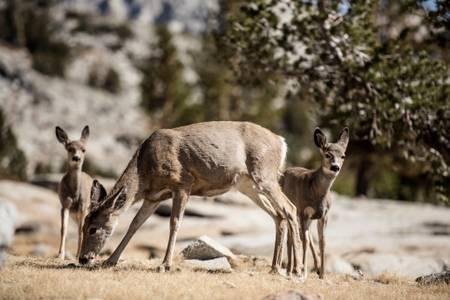 Animaux en californie Sierra Nevada