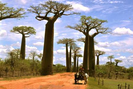 Alley of baobabs
