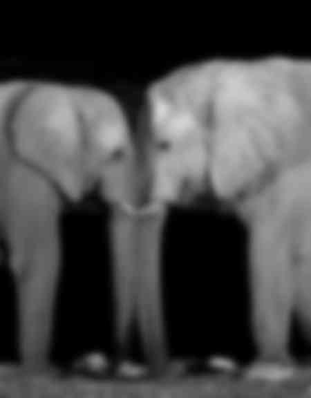 ELEPHANTS EN BLACK AND WHITE