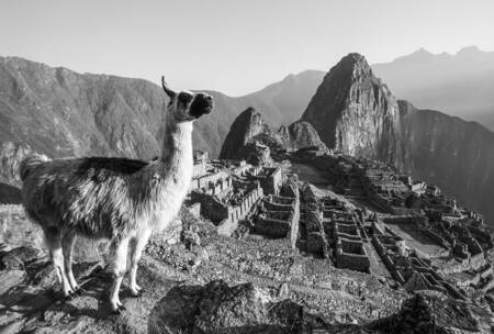 THE LAMA OF MACHU PICCHU