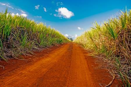 champ de canne à sucre