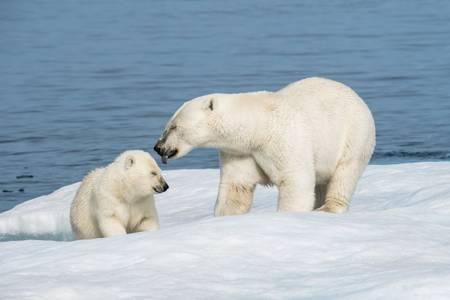 La toilette de l'ours polaire