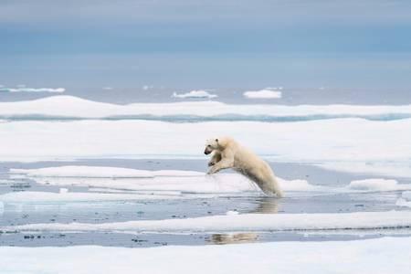 The jump of the bear